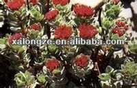 rhodiola rosea powder plant extract