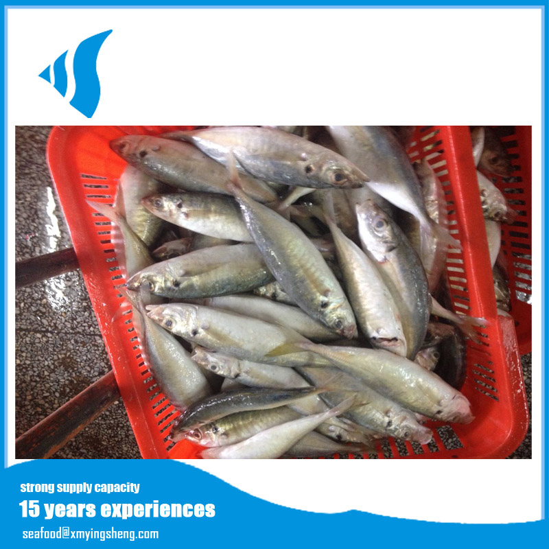 Best delicious Frozen horse mackerel in high oil for canned