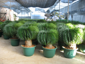 outdoor indoor decorative ornamental bonsai plants of Cycas revoluta