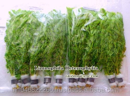 Limnophila heterophylia acuario plantas agr colas for Acuarios ornamentales
