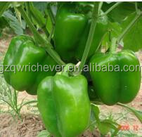 Choosen top quality F1 Pepper Seeds GreenpepperG01
