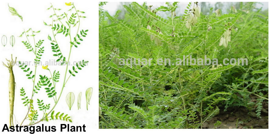 Natural Herb Extract Astragalus P.E / Astragalus Root Extract