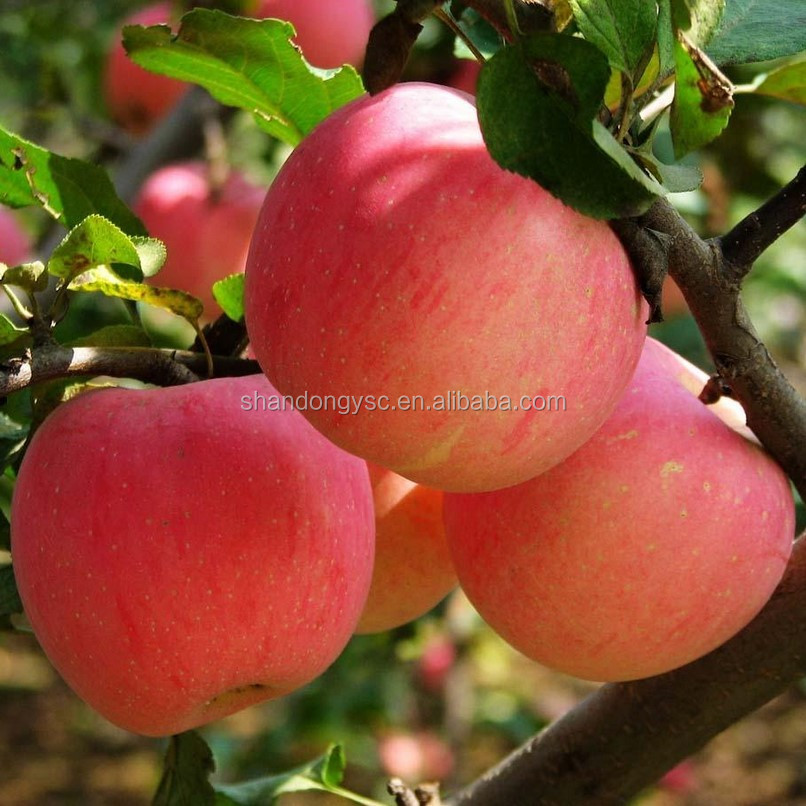 Good quality Fuji apple China red apple export