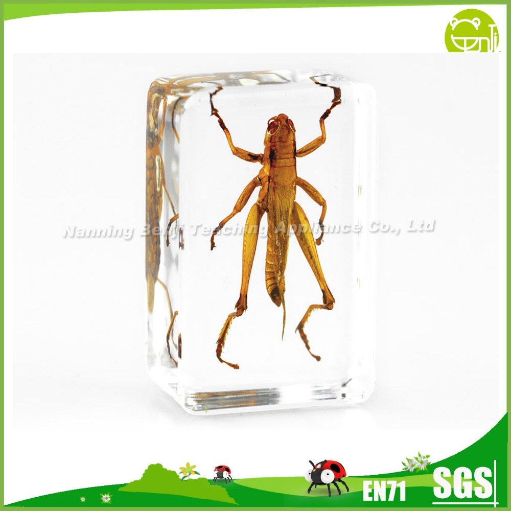 Insects Acrylic Specimens Grasshopper for Educational Equipment