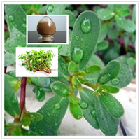 Wholesale Bacopa Monniera Extract Powder / Bacopaside 20%