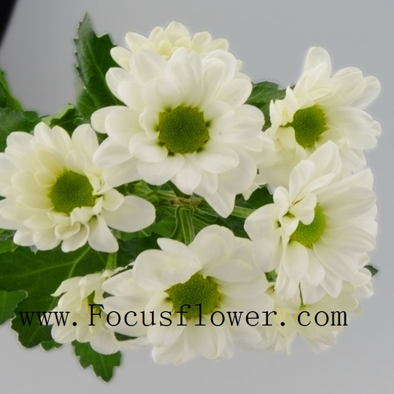 Fresh cut flowers decoration flowers wholesale The White Chrysanthemum from KUNMING