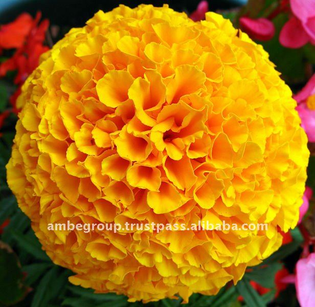 Food Color Plant Extract / Lutein Marigold Flower Extract Powder / Dried Marigold Flower Extract Lutein- Order Now!