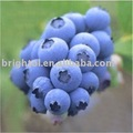 High quality Bilberry extract