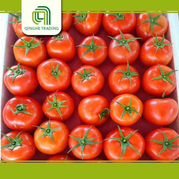 Hot selling green tomato farm fresh tomato tomatoes with great price