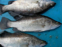 frozen whole round barramundi fish farm