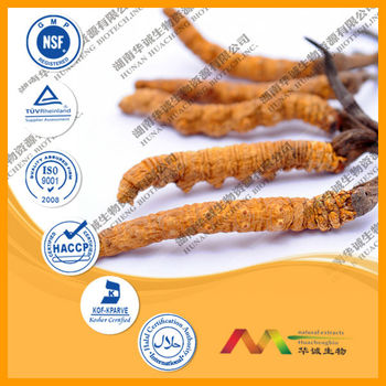Chinese Herb Cordyceps Extract