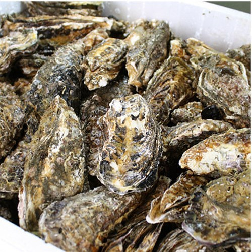 From Pollution-Free Sea Korean Tongyeong Fresh Live Oyster(Whole Shell Oyster / Whole Round)
