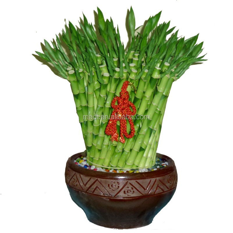 Natural Plants dracaena sanderiana fengshui bamboo outdoor plants online
