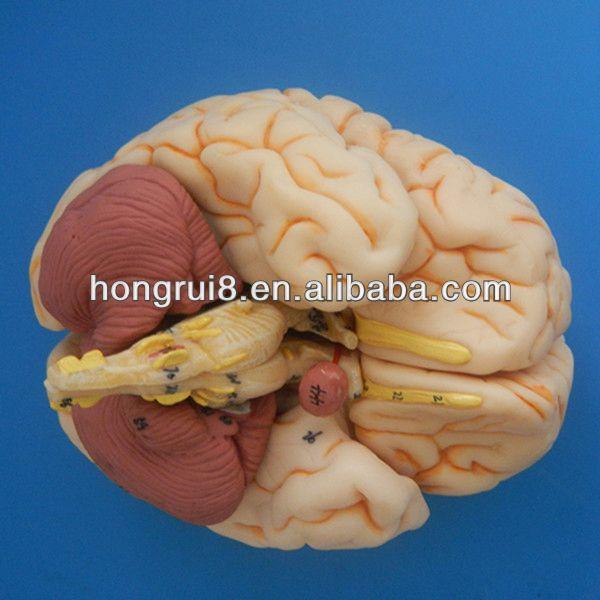 Iso Deluxe Brain Anatomical Modelteaching Brain Model Buy