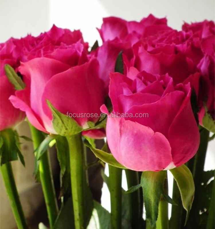Super quality Big Pink pink rose brand