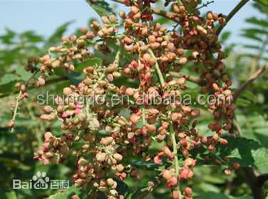 Natural Galla Chinensis P.E Rhus chinensis Mill. Natural Hair-drying Chinese Gall