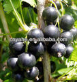 Blackcurrant Flavour for food (New Product)