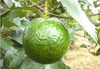 Vietnam Fresh Seedless Lime