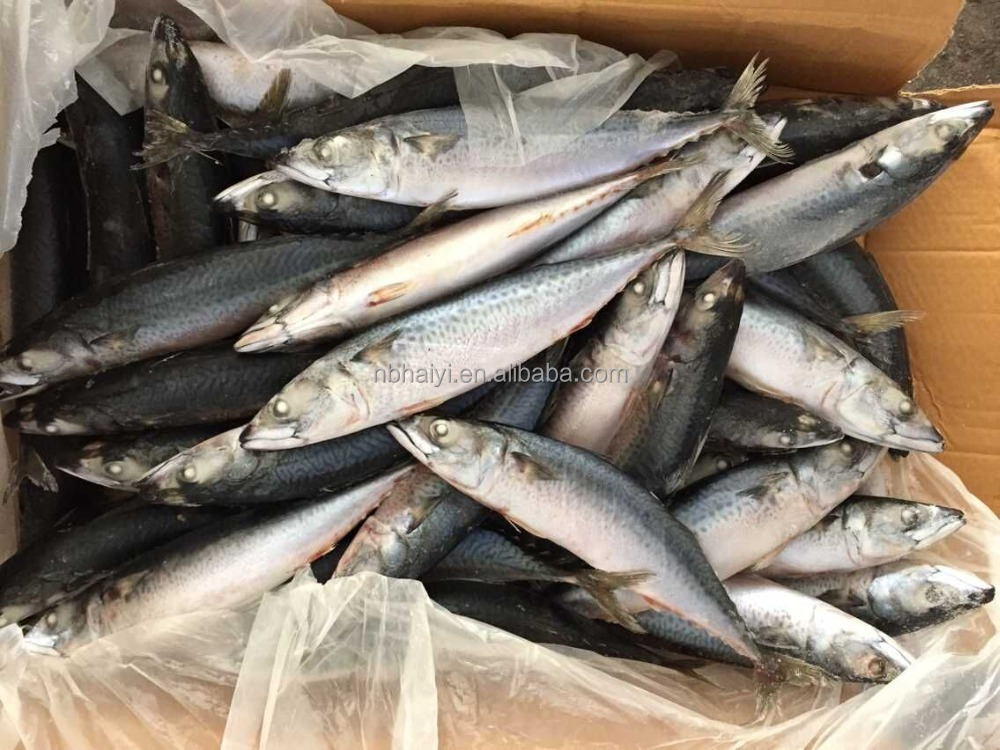 FROZEN MACKEREL FISH NEW LANDING 300-400g 2016
