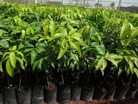 Grafted Mango Plants