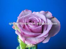 Alibaba China supplier purple flower roses dubai fresh flower importers