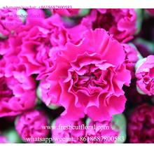 Premium Quality Carnation White With Guarantee Price and high quality from Kunming