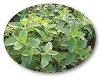 2014 Best Supplier for Spearmint Oil (with Cheapest price)