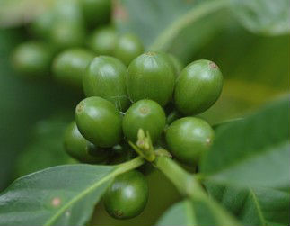 Un-roasted:Green Coffee Bean Extract/Total Chlorogenic acids/Coffea arabica extract