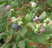 Best price of organic bilberry plants for sale