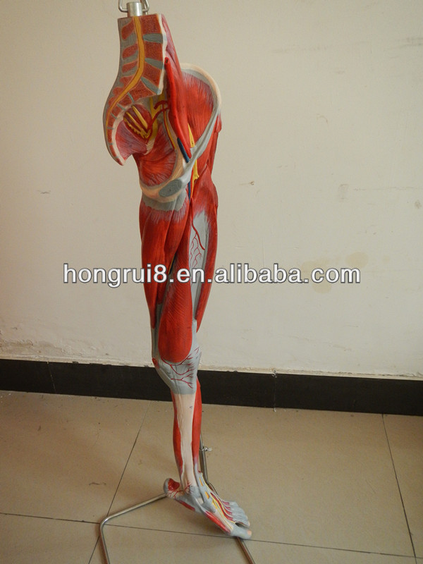 Iso Deluxe Anatomical Model Of Leg Muscleslower Limb Muscle Model