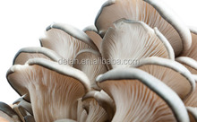 mushroom farm for fresh king oyster mushroom cultivation