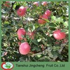 blush fuji apple for export