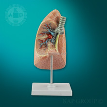 Artificial lung model medical teaching,Medical anatomy lung model
