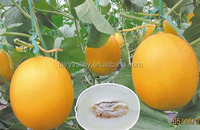 Hybrid F1 golden melon seeds For Growing-Golden Champion 02