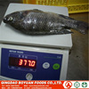 #frozen fish tilapia whole round chinese seafood factory good price