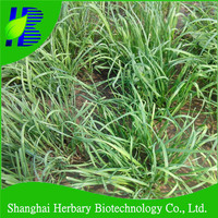 Hot sale organic vegetable seeds,Chinese Chives seeds with high yielding