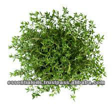 BEST QUALITY THYME ESSENTIALOIL (WHITE)
