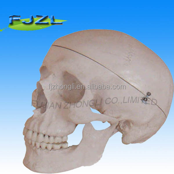 Deluxe Life-Size Skull Style artificial human skeleton model