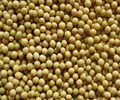 Premium Quality Sprout Soybean 2017