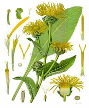 Extract Inula racemosa from 100% dried roots