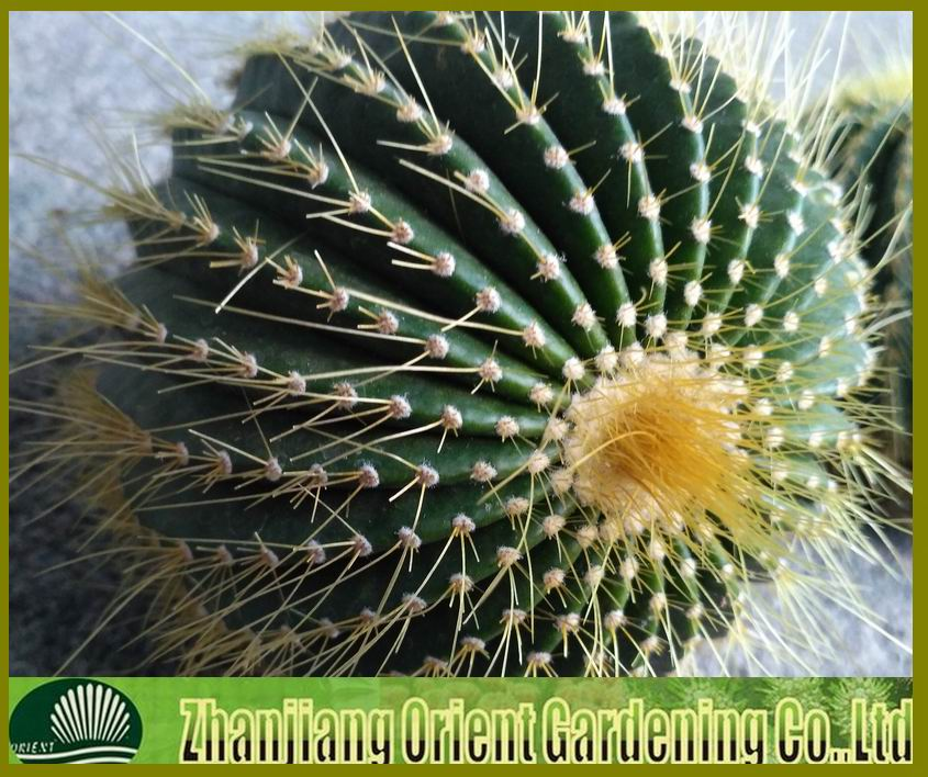 spiny pincushion cactus Mammillaria Spinosissima ball cactus natural plants