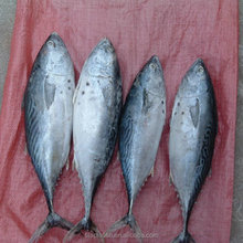Frozen fresh bonito tuna <strong>fish</strong> for sale