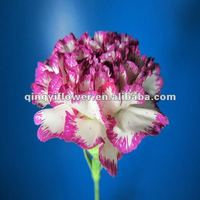 Fresh cut carnations