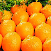 New Coming 100% Pure Natural Egyptian Orange Exporters