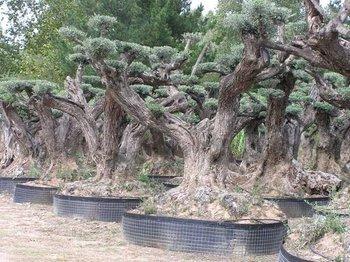 Bonsai ulivo buy product on for Bougainvillea bonsai prezzo
