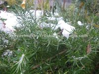 rosemary for Other Agriculture Products
