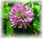BNP Supply Top Quality Red Clover Extract- Cancer Treatment
