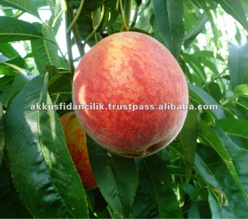 Peach fruit tree Rich May