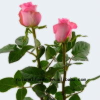 Spray Roses Flower Miss Rose 20 Stems/Bundle Waking Rose From Rolane/YunNan