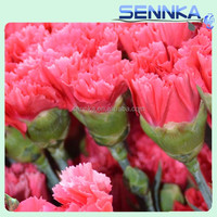 High Quality Mother's Day Fresh Cut Carnation Flower For Wholesale